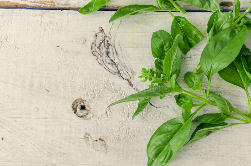 Basil leaves background. Basil background. Large green aromatic Mediterranean basil leaves on white wooden background with place for text. Bunch fresh basil on a stock image