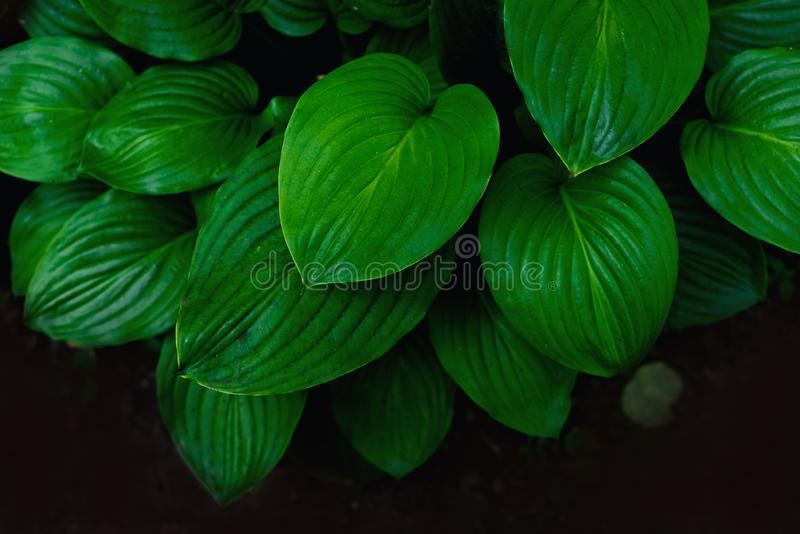 Beautiful and juicy green leaves of the Bush.  stock photography