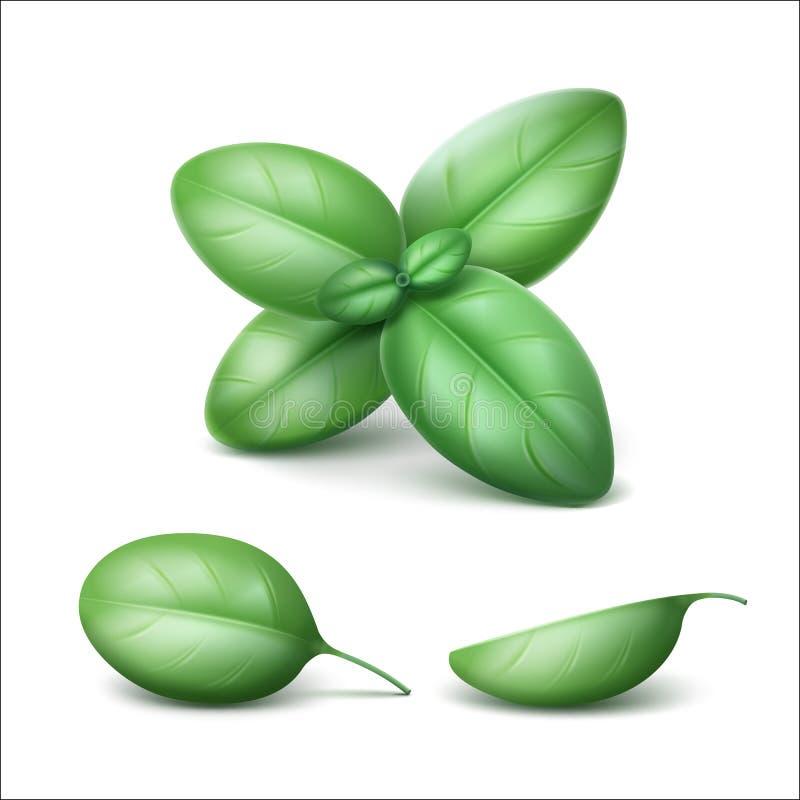 Basil Leaves Close fresco verde isolado acima ilustração stock