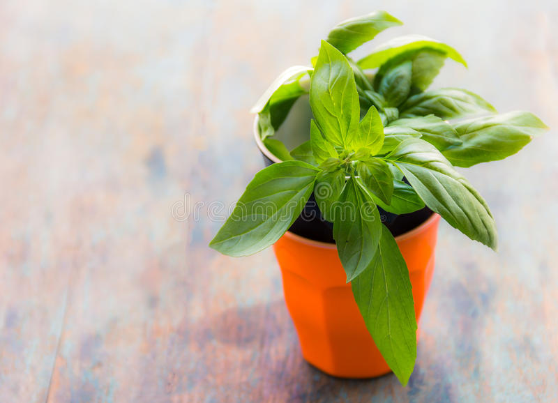 Basil Leaves. Fresh basil leaves in closeup. Basil leaves on the pot. Fresh herb image. Basil leaves stock image royalty free stock photography