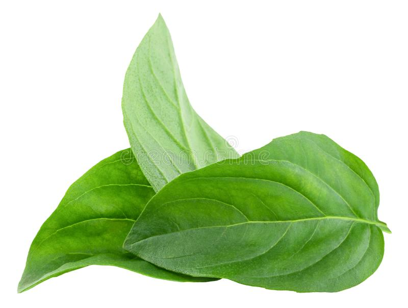 Basil leaves isolated on white background with clipping path.  royalty free stock photo