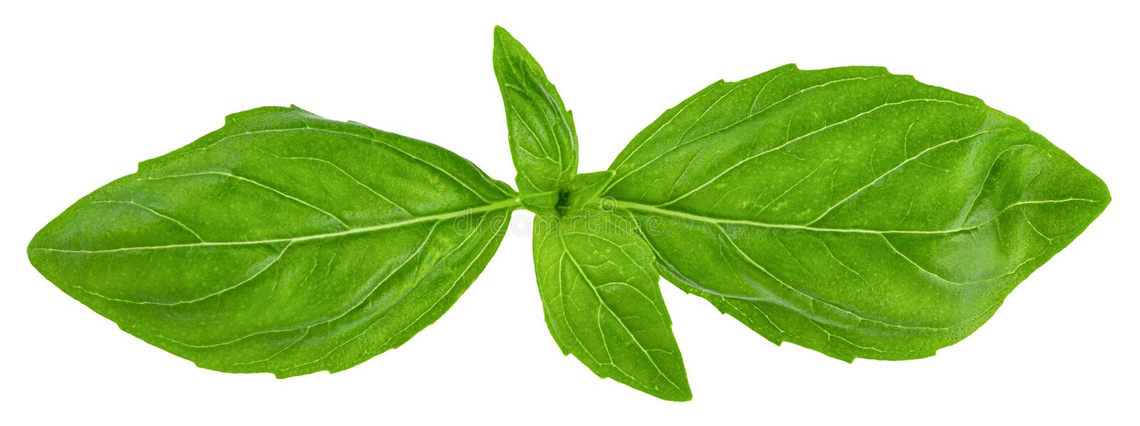 Basil leaves isolated on white background with clipping path.  stock photo