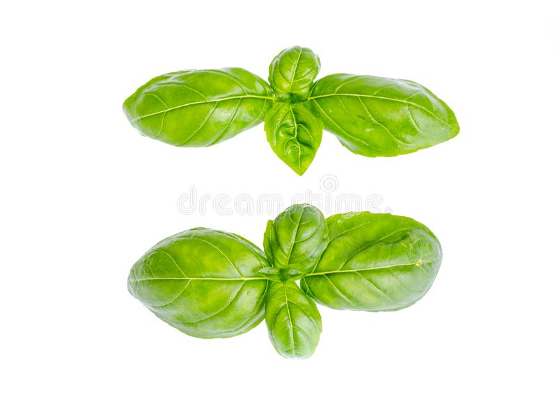 Basil leaves isolated on white background. Photo. Basil leaves isolated on white background. Studio Photo royalty free stock image