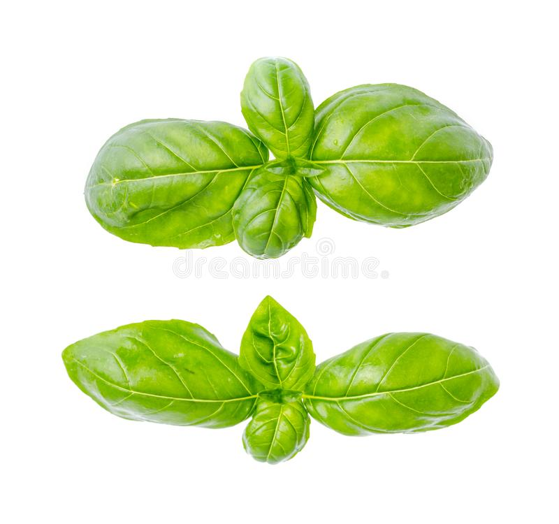 Basil leaves isolated on white background. Photo royalty free stock image