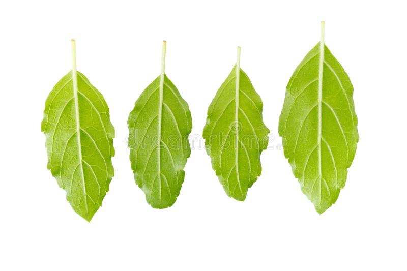 Basil leaves isolated on white background. Top view royalty free stock photography