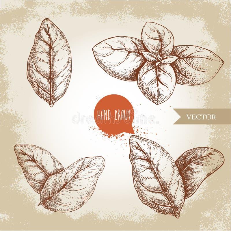 Basil Leaves Set Desenho tirado m?o do estilo do esbo?o de ervas culin?rias ?nico e grupo Aromaterapia e illustrat bot?nico do ve ilustração do vetor