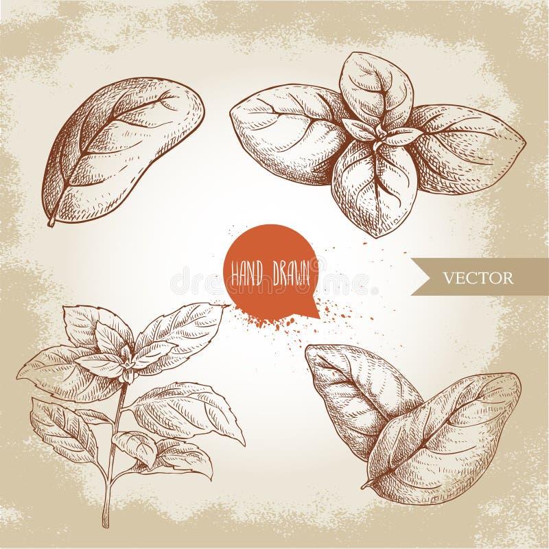 Basil Leaves Set Dessin tir? par la main de style de croquis des herbes culinaires Simple et groupe Aromatherapy et illustrat bot illustration de vecteur