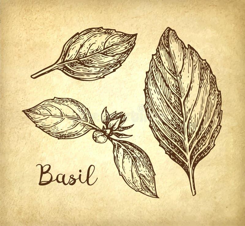 Basil ink sketch. Basil leaves set. Ink sketch on old paper background. Hand drawn vector illustration. Retro style stock illustration