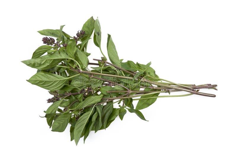 Basil Leaves tailandés fresco en el fondo blanco imagen de archivo