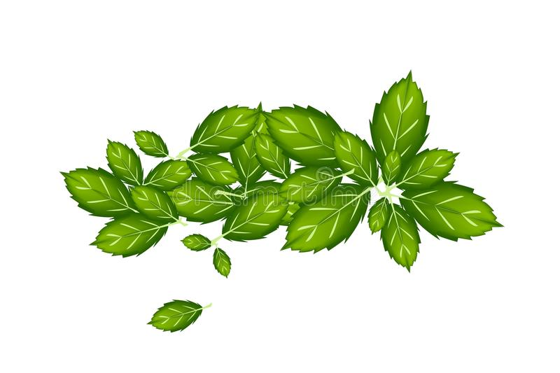 Basil Leaves tailandês fresco no fundo branco ilustração do vetor