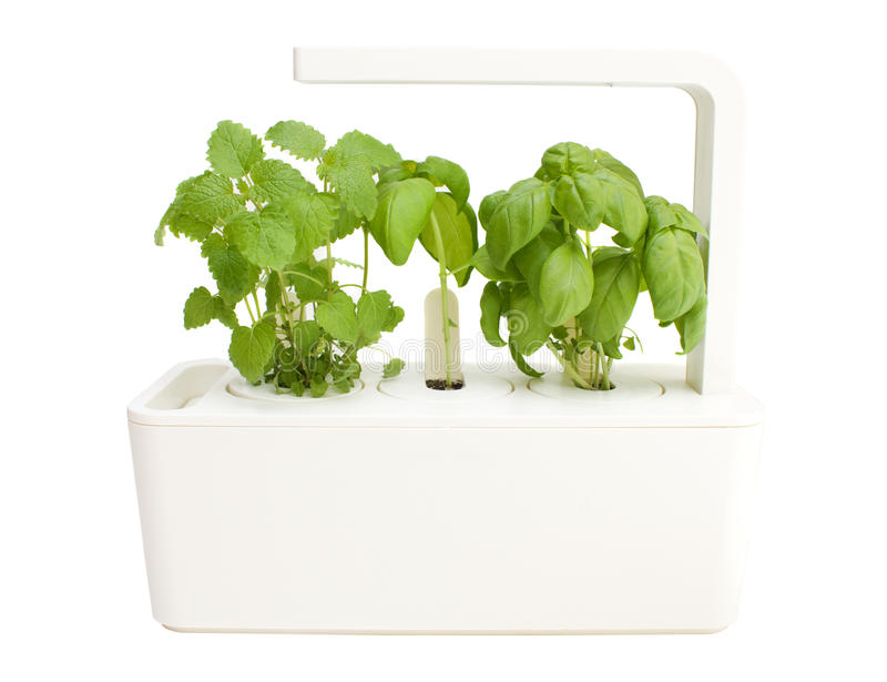 Basil and lemon grass. In smart herb pot with lemp royalty free stock image