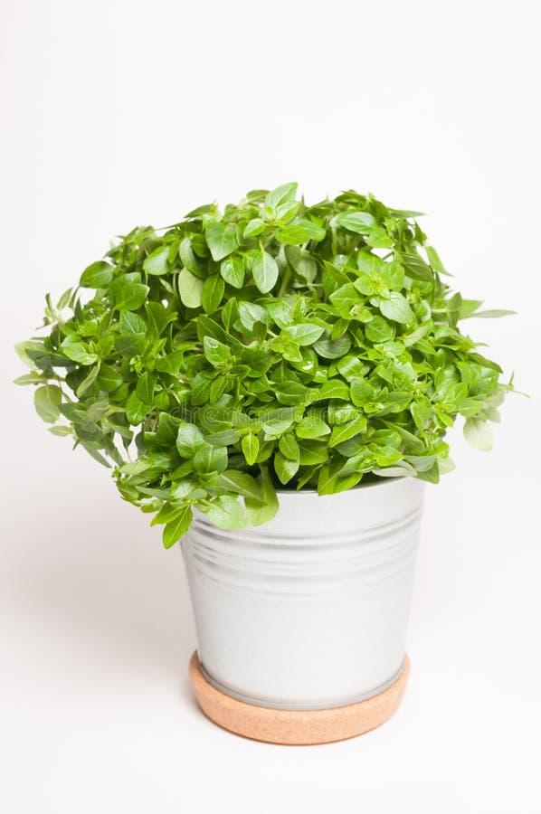 Basil in a metal pot royalty free stock image