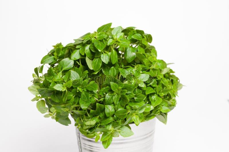 Basil in a metal pot stock photos