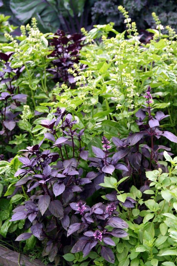 Basil - Ocimum basilicum. Violet and green species of basil ocimum basilicum on the garden bed royalty free stock image