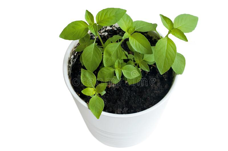 Basil Ocimum basilicum, great basil or Saint Josephs-wort, is a culinary herb of the family Lamiaceae Mints. Provencal herbs. Healthy food. Gardening concept stock photo