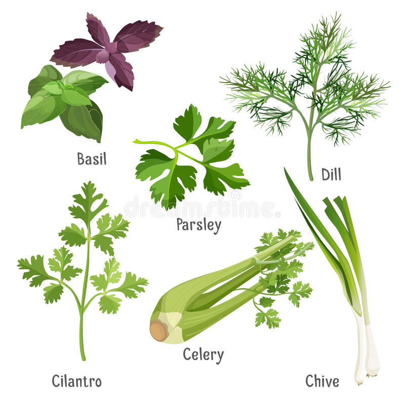 Basil, parsley and dill, fresh cilantro, stem of chive, celery. Herbs and plants colorful vector poster on white. Collection of basil bunches, green parsley and stock illustration