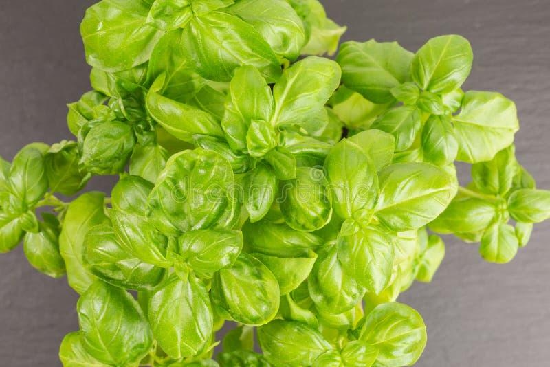Basil Plant arkivfoton