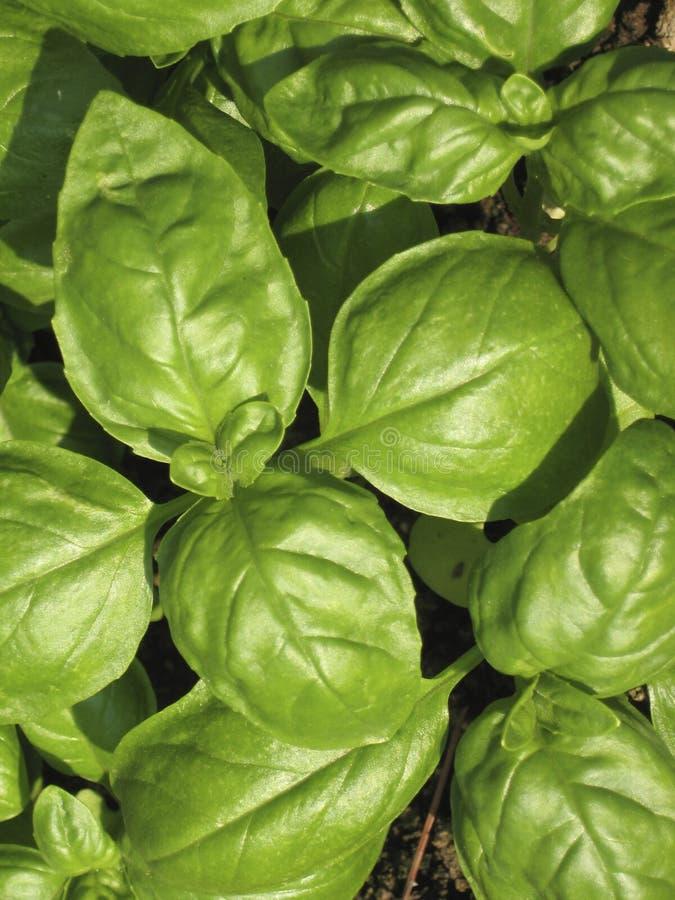 Basil plant royalty free stock photos
