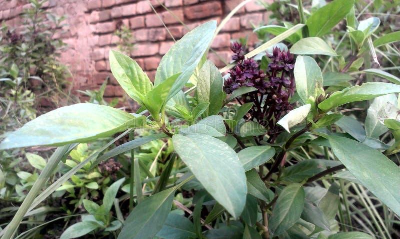 Basil Plant fotografía de archivo libre de regalías