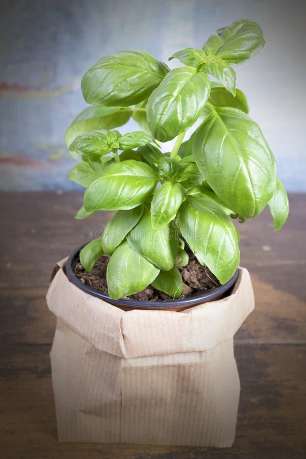 Basil Plant stockfotografie