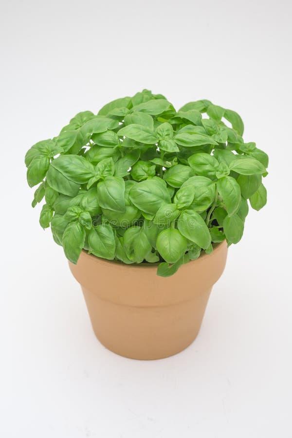 Basil Plant imagem de stock