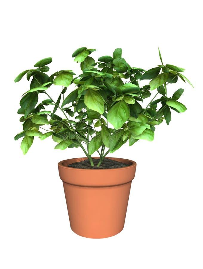Basil Plant In Clay Pot Stock Photos