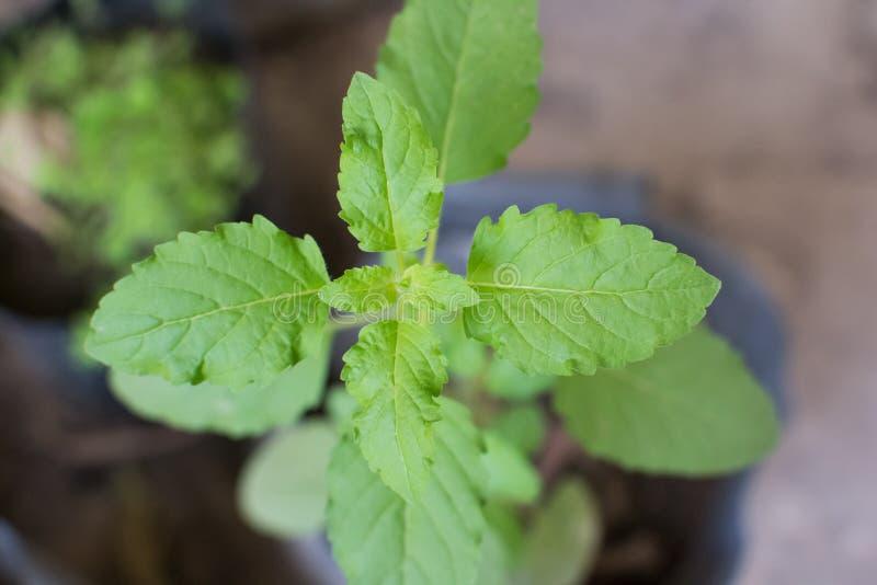 Basil Plant Leaves Closeup santamente imagem de stock royalty free