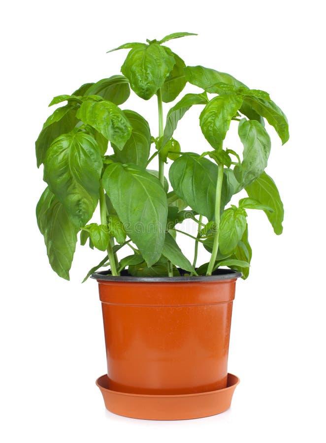 Basil Plant no potenciômetro imagens de stock royalty free
