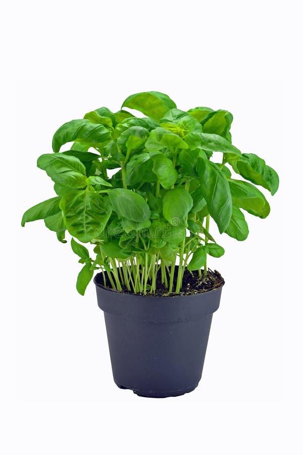 Basil plant in pot stock photos