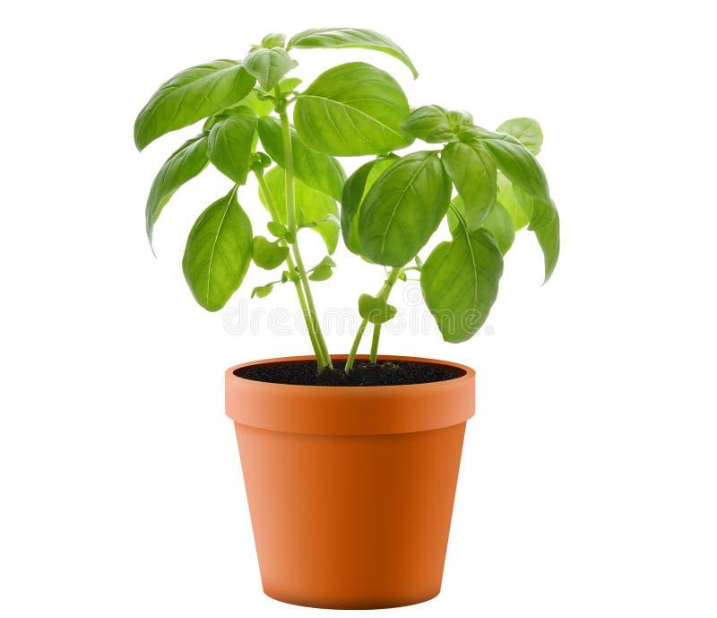 Basil Plant In A Pot stock photos