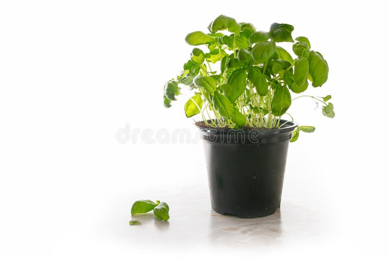 Basil plant in a pot, fresh potted kitchen herb on a light marble plate, isolated with shadow on a white background, copy space royalty free stock images