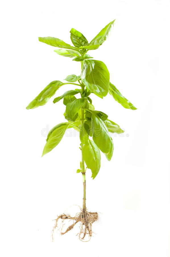 Basil plant with roots royalty free stock photo