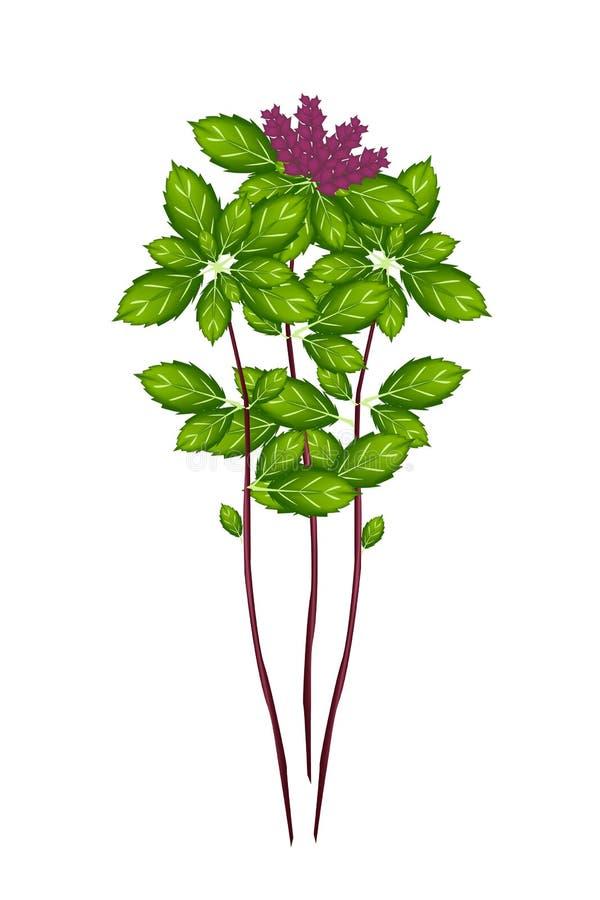 Basil Plant tailandês em um fundo branco ilustração do vetor