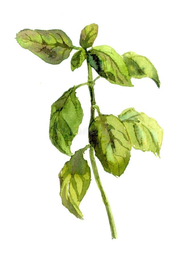 Basil Plant watercolor ilustração royalty free