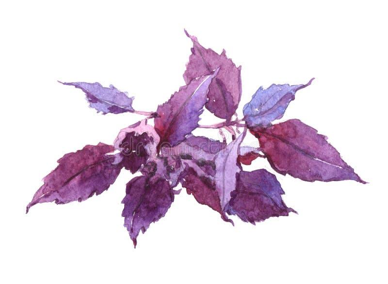Basil plant Watercolor illustration isolated. On white background royalty free illustration