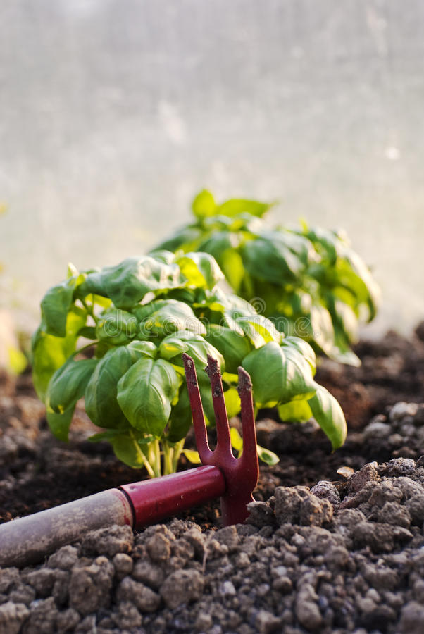 Basil plants royalty free stock photography