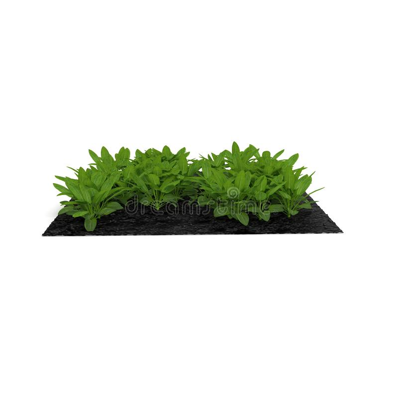 Basil Plants no jardim no branco ilustração 3D ilustração stock