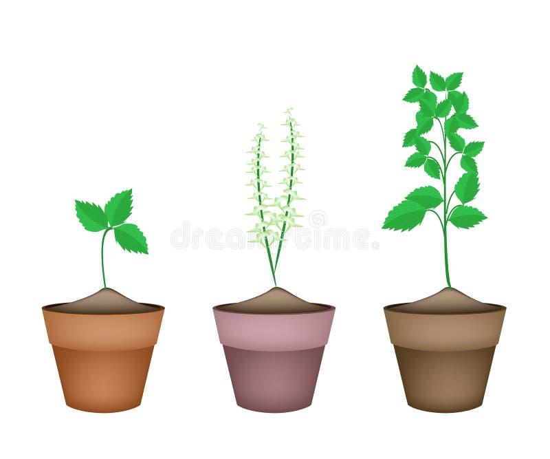 Basil Plants santo en macetas de cerámica libre illustration