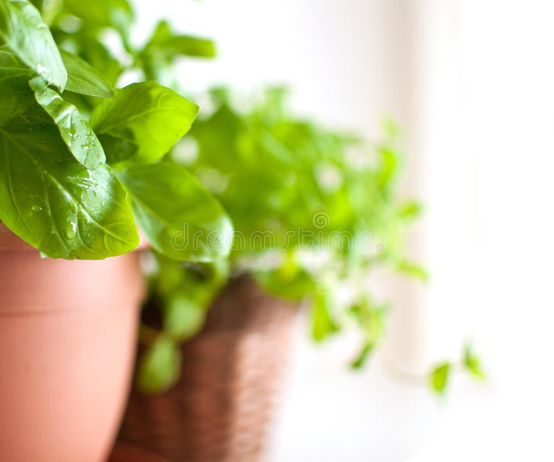 Download Basil in Pot stock photo. Image of plant, shelf, pots - 19133064
