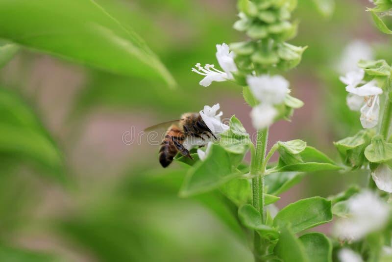 Basil pszczoła obrazy royalty free