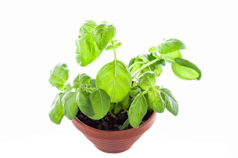 Basil s'?levant dans un pot de fleurs Basilic croissant dans un bac photo stock