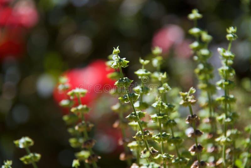 Basil in seed stock photo