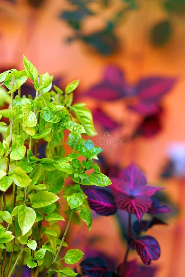 Basil seedlings in autumn royalty free stock photos