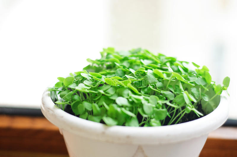 Basil sprouts in a pot. Basil sprouts in a white pot royalty free stock photography