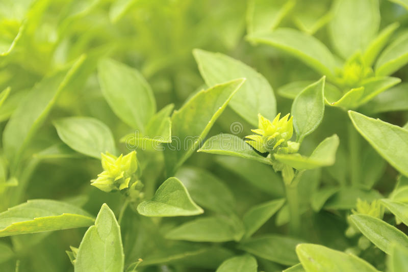 Download Basil on Vegetable Patch stock photo. Image of fresh - 15772694