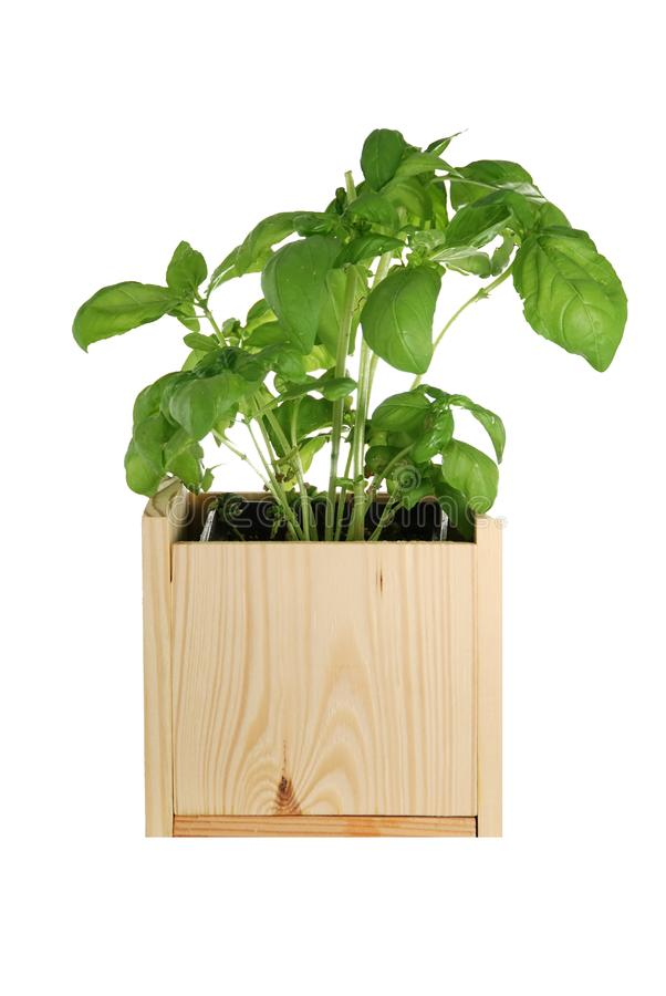 Basil In A Wooden Pot Stock Photos