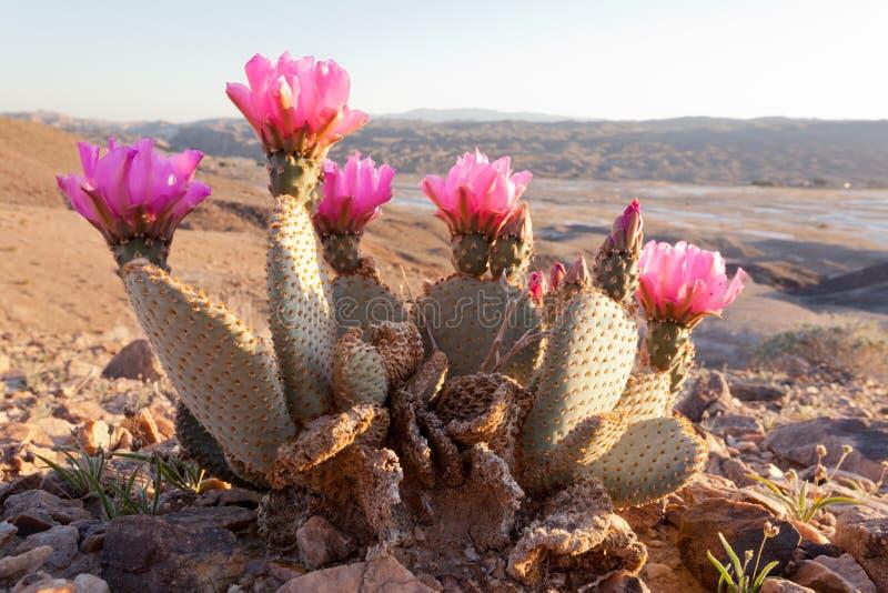 Basilaris florecientes de la Opuntia del cactus de la cola del castor foto de archivo libre de regalías