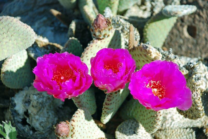 Basilarus de florecimiento del cactus o de la Opuntia de Beavertail cerca del lago Mead, Nevada imagenes de archivo