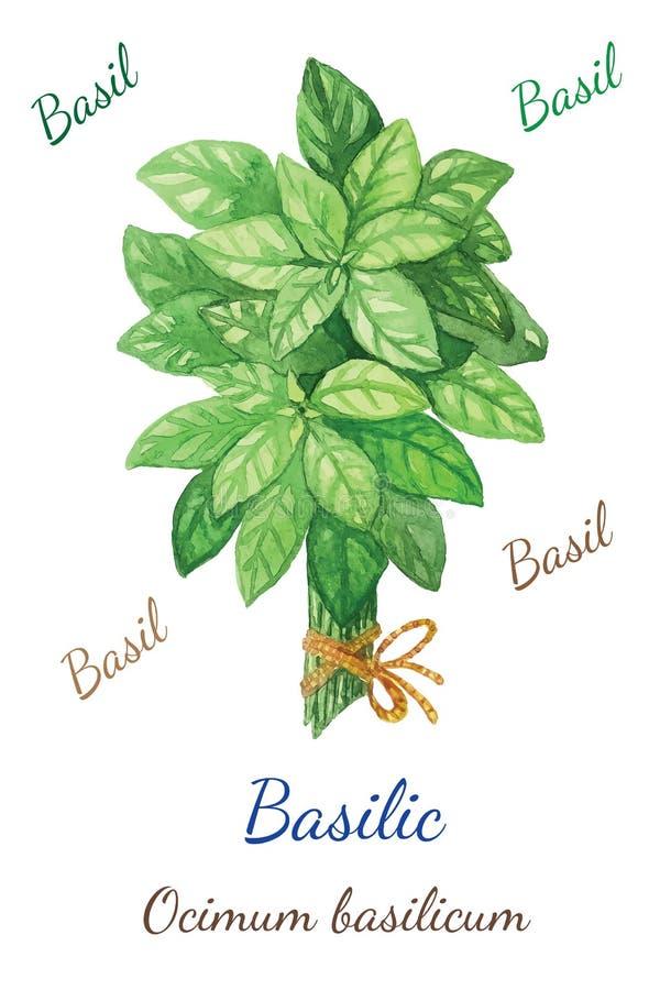 Basilic illustration stock