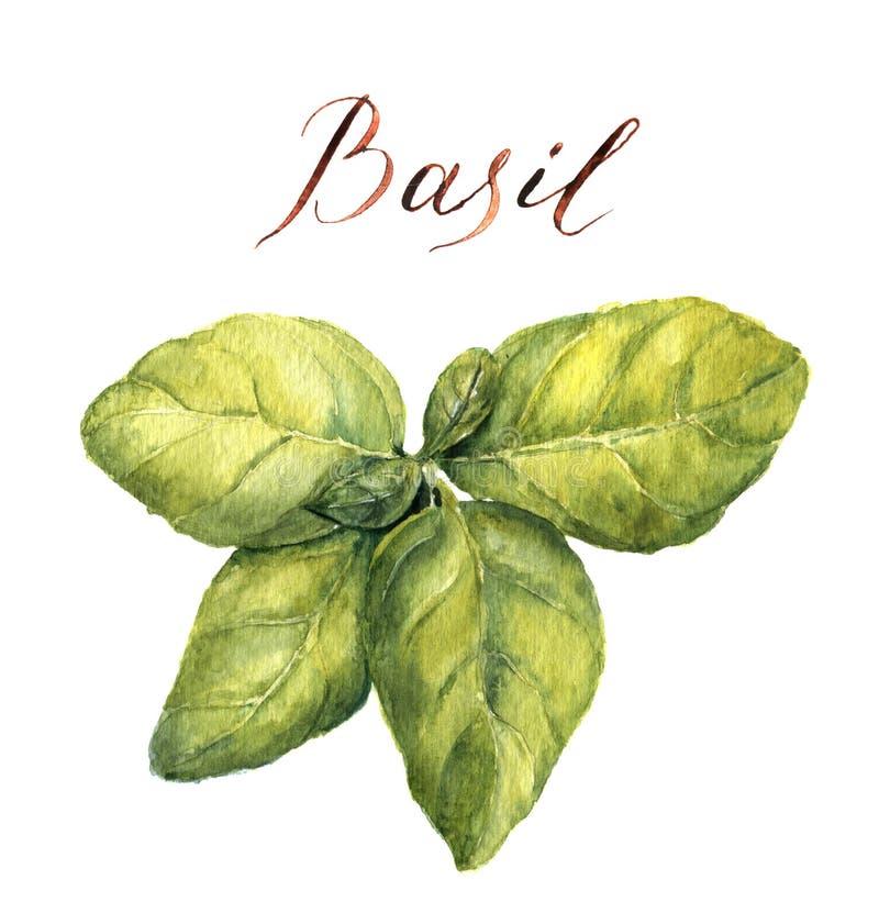 Basilic d'aquarelle Illustration botanique illustration libre de droits